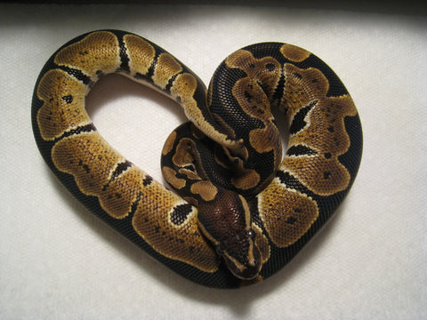 caring for your ball python pets on broadway