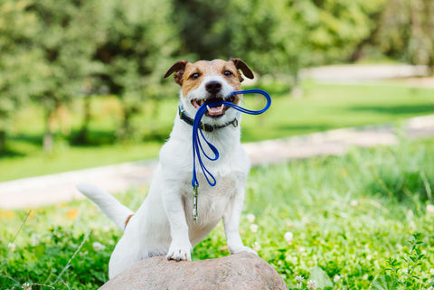 Dog with leash in their mouth