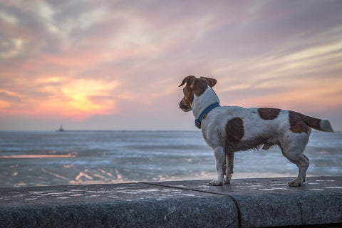 Dog looking out at the ocean