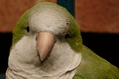 Green Quaker Parrot Closeup