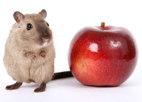 Gerbil next to apple