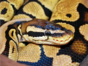 Caring for Your Ball Python – Pets on Broadway