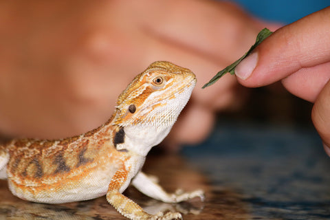 Bearded Dragon Hand Feed