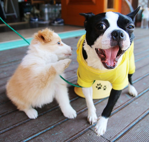 Boston Terrier and fuzzy puppy