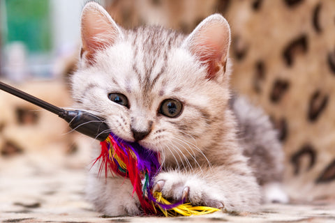 A small grey and white cat with a feather toy in its mouth
