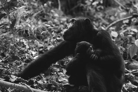 Chimpanzee mother looking at the sky