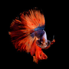 Gorgeous Betta