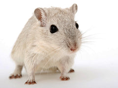 Cute Gerbil Closeup