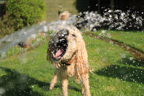 A goldendoodle catching water from a hose