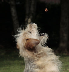 Dog catching treat in the air