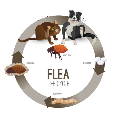 An illustration of the flea life cycle: A dog & cat at the top, going clockwise is flea eggs, flea larva, flea pupa and finally adult flea.