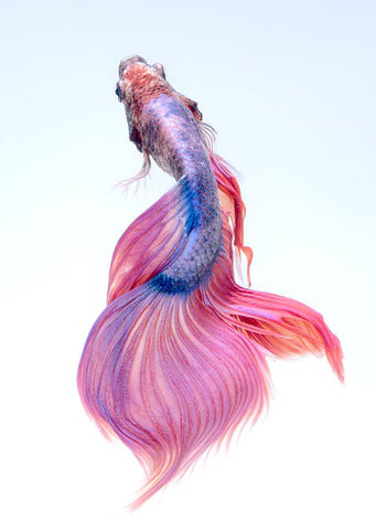 Beautiful Betta