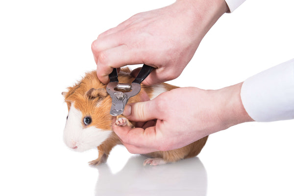 An orange and white guinea pig getting a nail trimmed.