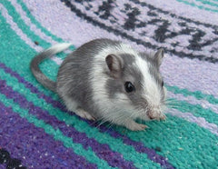 Grey and white gerbil