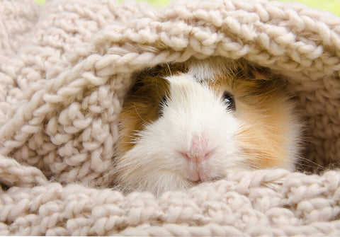 guinea pig wrapped up in a blanket