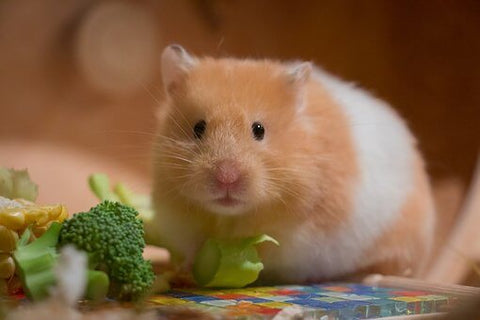 A gold and white hamster surrounded by broccoli