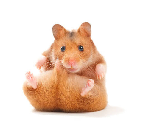 An orange hamster with his tail up