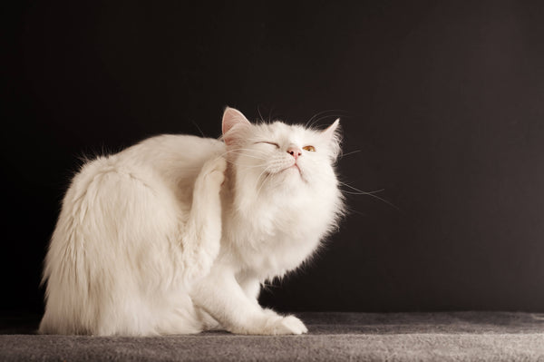 In front of a black background, there's a cream colored cat scratching their ear with a hind foot.