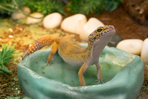 A leopard gecko standing in their water bowl