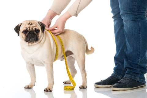 A pug being measured by a human