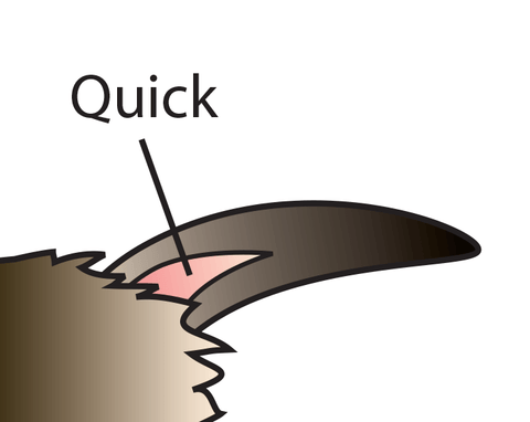Drawing of a pet nail with the quick. Source: My House Rabbit