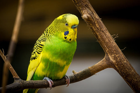 Yellow and Green Parakeet