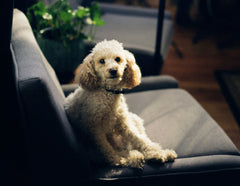 Poodle on a couch