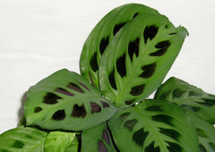 Prayer Maranta Plant