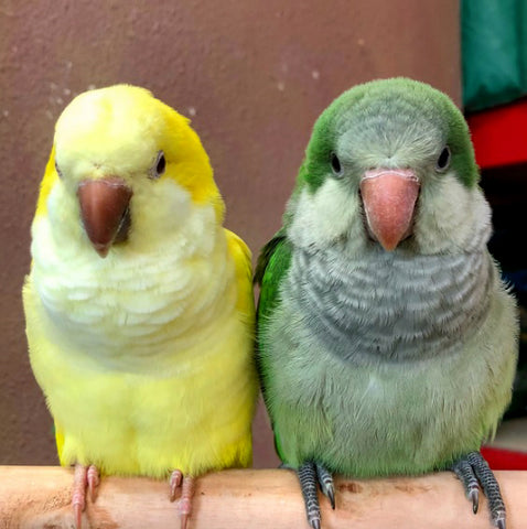 Yellow and green quaker friends