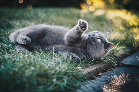 Gray cat laying in the grass