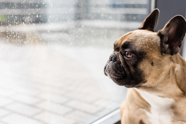 A brown and black french bulldog looking out a window with raindrops