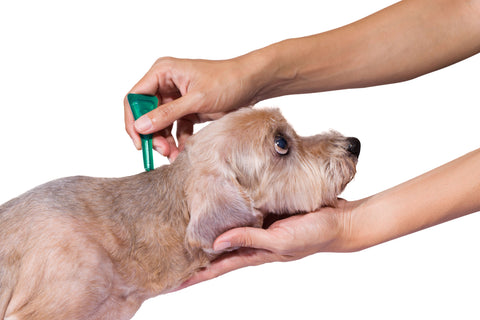 A light-colored dog having some topical treatment applied to the back of their neck.