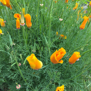 A picture of orange poppies .