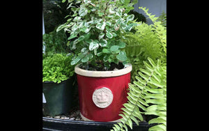 Botanical Collection Round Red Herb Pots displayed with greenery