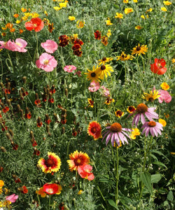 a picture of wildflowers grown from the wildflower seed kit.