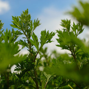 Mugwort Plant Growing Up Close