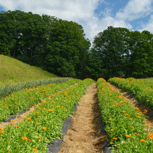 Rows of Calendula Growing on Farm