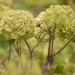 Angelica Perennial Herb Growing