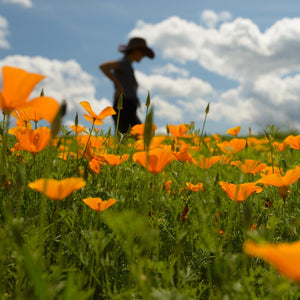 California Poppy Growing in Field with Person