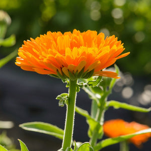 Growing Calendula Flower Up Close