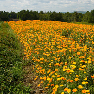 Rows of Calendula Fully Blossomed on Farm