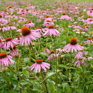 Growing Echinacea Flowers on Farm