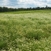 Field of Chamomile Crop