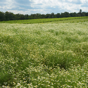 Field of Chamomile Crop on Farm