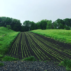 Rows of Freshly Planted California Poppy