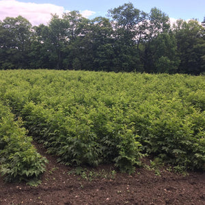 Meadowsweet Plants Growing in Rows in Soil on Farm