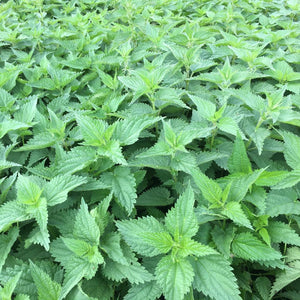 Stinging Nettle Plants growing up close