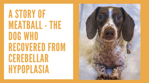 A Story of Meatball - The Dog Who Recovered from Cerebellar Hypoplasia