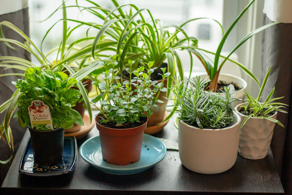 Beginners Guide: Best Veggies and Herbs to Start an Indoor Garden