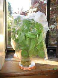 Photo of basil covered in a plastic bag